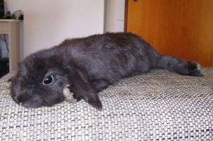 Black soft mount bunny SOLD by DeerfishTaxidermy