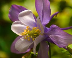 Columbine 3 by PlumCrazee