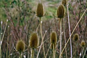 Thistles by A-Glass-Brightly