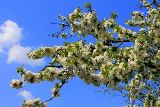 Sweet CherryTree by 86Botond