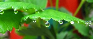 Strawberry Drops 0767 by VioletRosePetals