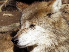 Mexican Wolf Stock 21 by HOTNStock