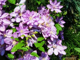 Clematis Beauty by jim88bro