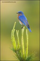 Mr. Eastern Bluebird by gregster09