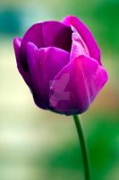 purple tulip by photographybypixie