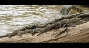 Mexico - Baby crocodiles by lux69aeterna