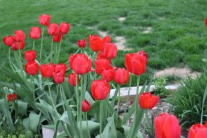 Spring Scenes - Tulips2 by Qrinta