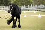 FR Friesian battle halter stand fronton windswept by Chunga-Stock