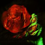 Red Rose by WhiteBook