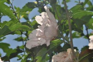 Double blooming Hibiscus Syriacus 4 by xim0nfir3x