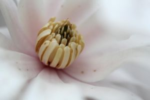 Magnolia flower 1 by greyrowan