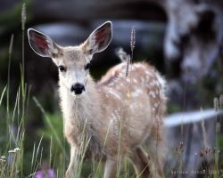 Whitetail Fawn by Iamidaho