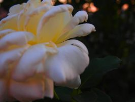 The white rose of morning by zuzumc