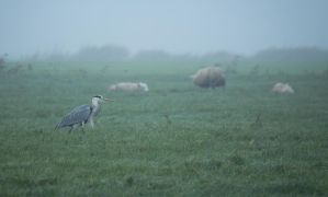 Heron among Sheep by Danimatie