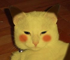 Pikachu Cat is not amused by casm1
