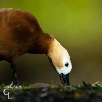 Ruddy Shelduck by Goro38