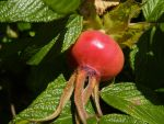 Rose Hip Macro by electropeppers