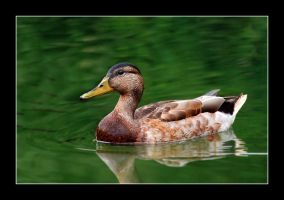 Duck in green by Amersill