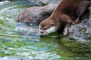 Asian Small-Clawed Otter 017 by The-Long-Shot