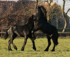 Playing friesian stallions by yzel07