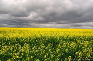 Mustard field forever... by imonline