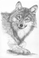 Wolf by picous
