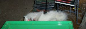 Where is guinea pig? by Oxyvia