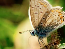 Common Blue Butterfly by DoodleBe
