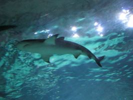 Animals 017 shark by Dreamcatcher-stock