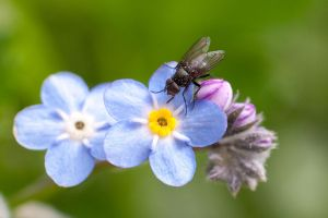 Fly on ForgetMeNot by KittenKiss