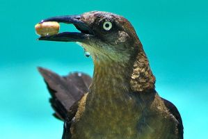 Birds in the Pool - Grackle with a Nut 2 by SilverPadfoot