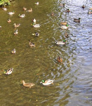 Ducks Galore by F-L-O-W-E-R-S