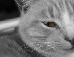 Cat_1 by eyethruthelens
