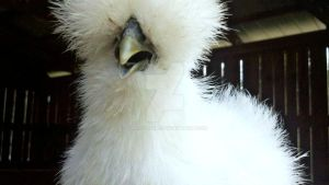 White Silkie by Cargbrock