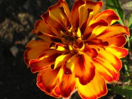 Orange n Yellow MarryGold by sidneyj06