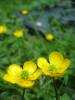 Twin Buttercups by Frances23