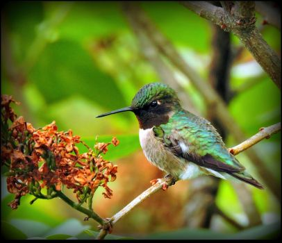 Male Hummingbird by JocelyneR