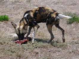 African wild dog - Snacktime by PandaTJ
