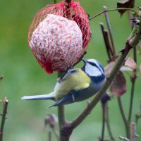 Blue Tit 02-2013 by YunaHeileen