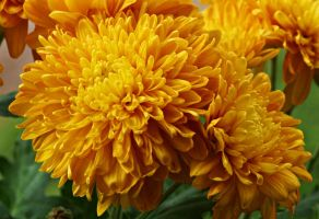 Yellow Chrysanthemum flowers I by a6-k