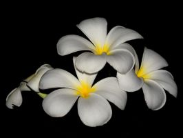 Plumeria IV by nordfold