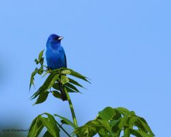 Inidgo Bunting 2012 by natureguy