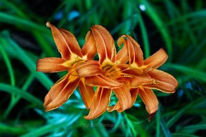 Triple Day Lilly Bloom by KYghost