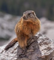 Marmot by MarvinDiehl