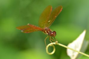 Male Eastern Amberwing by wreckingball34