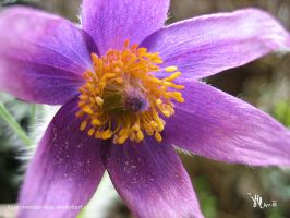 florescence of a pasqueflower by ilura-menday-less