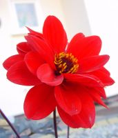 Red Dahlia in Front Garden by SrTw