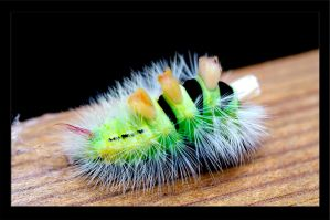 Pale Tussock Moth by marcusdellicompagni