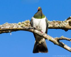 Wood Pigeon by ARC-Photographic