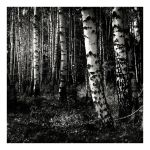 Birches by anoxado
